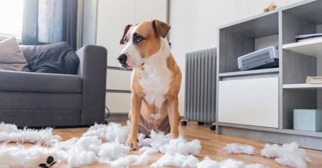 Vous allez devoir apprendre à agir et réagir vite en face d'un chien destructeur en votre absence. Prenez des mesures strictes, mais soyez souple dans la façon que vous le ferez. Apprendre à votre animal de compagnie à ne plus détruire dans votre maison !