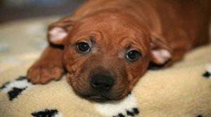 Staffordshire Bull Terrier : Portrait