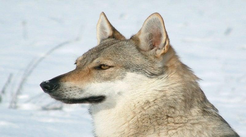 Chien-loup tchécoslovaque caractère santé... Venez découvrir cette race de chien fabuleuse !