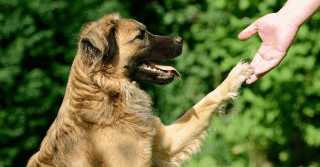 apprendre à son chien à donner la patte facilement