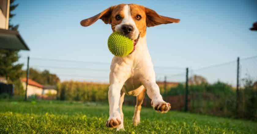 Apprendre à son chien à rapporter la balle facilement