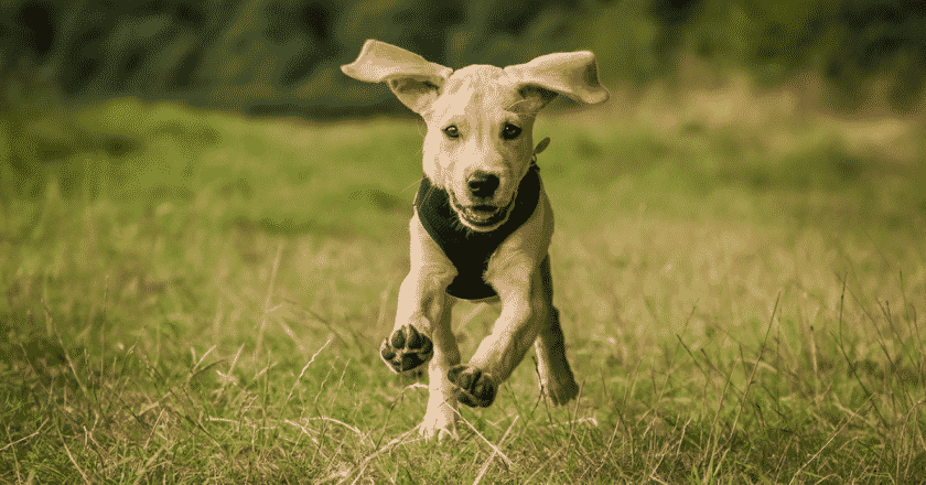 Comment apprendre le rappel au chien, votre toutou à besoin d'apprendre à revenir en un claquement de doigts ? Votre voix doit pouvoir le faire revenir facilement. Malgré tout, il n'est pas si simple d'apprendre le rappel même si celui-ci est près disposé à l'apprendre.