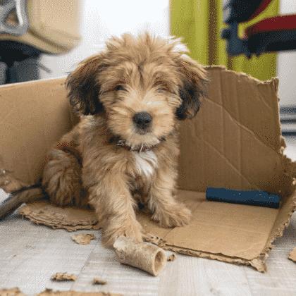 Pour bien éduquer son chiot à l'obéissance, vous aurez besoin de conseils de spécialiste en éducation canine. Un chiot demande de la patience et de la compréhension.