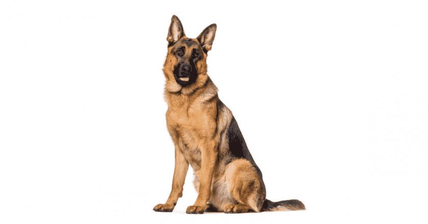 Comment dresser un chien à la garde facilement ? Votre animal de compagnie a besoin d'apprendre si vous voulez avoir une maison bien surveillée. Quoi de mieux, pour lui apprendre les ficèle du métier qui est le gardiennage !