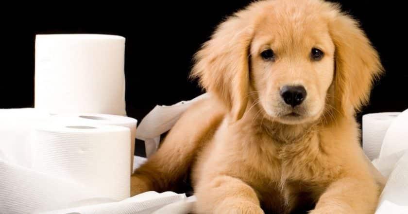 Comment Apprendre la propreté à un chiot en appartement facilement sans crier.