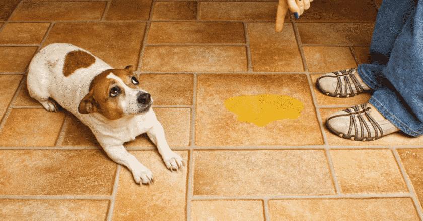 Pourquoi un chien propre devient sale ? Il n'est pas habituel que son plus fidèle compagnon devienne sale du jour au lendemain.