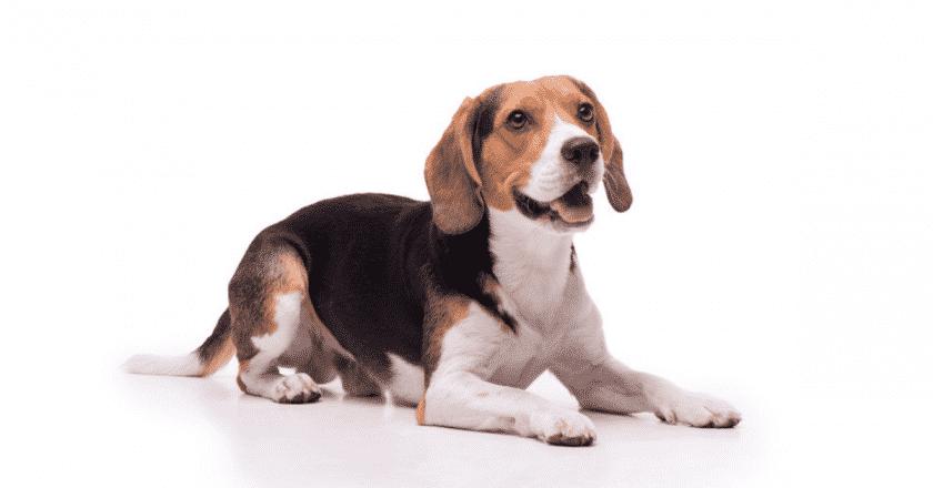 """Venez découvrir 3 méthodes surprenantes pour dresser son chien à la position """"couché"""". Vous allez vous amuser comme un petit fou à éduquer votre animal de compagnie."""