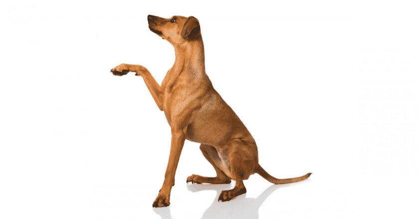 Apprendre à donner la patte à son chien est un tour très amusant que peu de gens arrivent à faire !