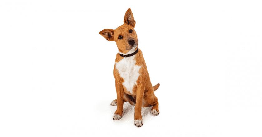 Mon chien n'écoute pas dehors, c'est important d'avoir un toutou qui sait écouter son maître en dehors de la maison, venez découvrir pourquoi votre animal de compagnie ne vous écoute pas à l'extérieur.