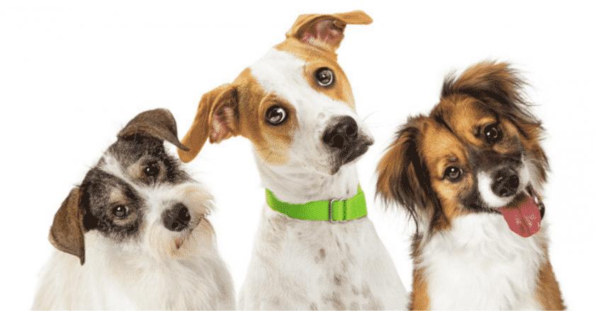 Mon chien n'écoute pas en promenade. Figurez-vous que votre animal de compagnie peut ne plus vous écouter parce qu'il a trouvé autre chose de plus intéressant que vous ! Venez découvrir pourquoi votre canidé ne vous écoute pas de la même oreille.