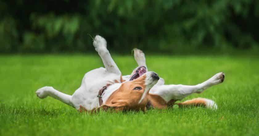 Comment apprendre à son chien à rouler bouler ?