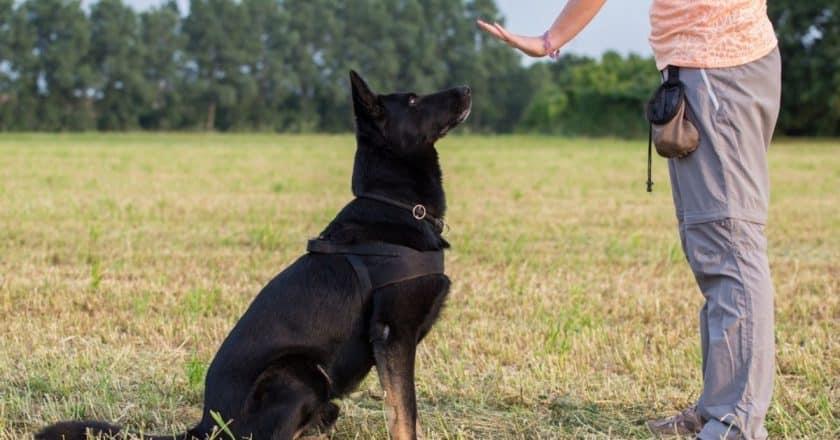 Apprendre assis chien pas bouger ! Venez découvrir comment votre animal de compagnie peut s'asseoir facilement.