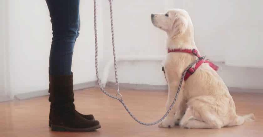 Apprendre à son chien à ne pas bouger, vous permettra d'accomplir de grande chose ! À commencer par une sortie de votre maison et en promenade plus apaisée et moins surexcitée par son envie de sortir.