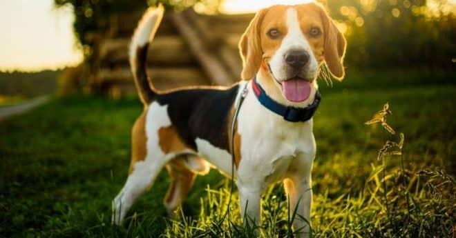 Beagle bien dressé comment faire pour bien débuter facilement?