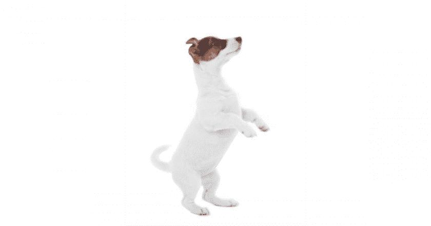 Comment apprendre à son chien à faire le beau en seulement 3 étapes facilement? Apprenez à votre toutou ce superbe tour de passe-passe !