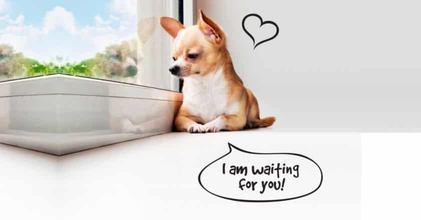 Pourquoi laisser son chien seul à la maison ? Vouloir que son animal de compagnie soit automne et parfaitement normal ! Apprenez à ce qu'il le devienne rapidement.