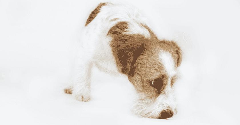 Apprendre le pistage à son chien n'a jamais été aussi facile! Apprenez à votre toutou à devenir le meilleur pisteur de votre maison!