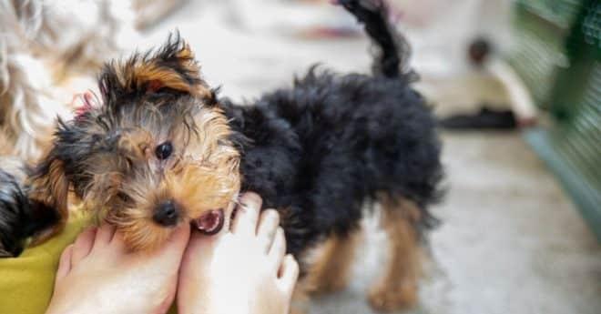Venez découvrir 3 astuces pour que votre chiot arrête de mordre dans les pieds. Il est important de lui dire stop avant qu'il prenne de très mauvaises habitudes.