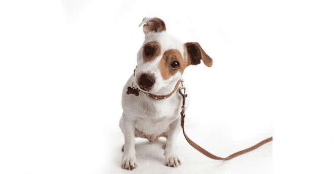 Apprendre la marche au pied à son chien. Il est important à médor de savoir bien se tenir pendant votre promenade sous peine de ne pas pouvoir le tenir correctement en laisse. Ne vous laissez pas déborder par son enthousiasme!