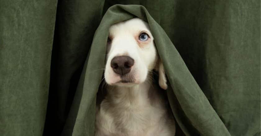 Votre chien très peureux fuit depuis des jours, des semaines, voire des mois… Vous ne comprenez pas le comportement de votre animal de compagnie est ce n'est pas de votre faute. Apprenez dès aujourd'hui ce qui fait peur à votre fidèle ami canin et comment vous pouvez l'aider !